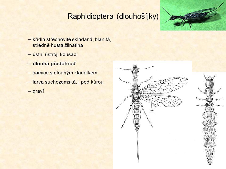 Neuroptera (síťokřídlí) –křídla střechovitě skládaná, blanitá, velmi hustá žilnatina (příčné žilky) –ústní ústrojí kousací (modifikované u larev vysávají) –vajíčka často na stopce –draví (dospělci často na květech (pyl, nektar)) –např.: zlatoočka, mravkolev, ploskoroh