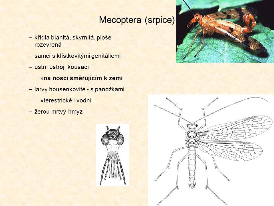 Siphonaptera (blechy) –bezkřídlí (druhotně) –laterálně zploštělí –ústní ústrojí bodavě sací –larvy beznohé (apodní): živí se org.