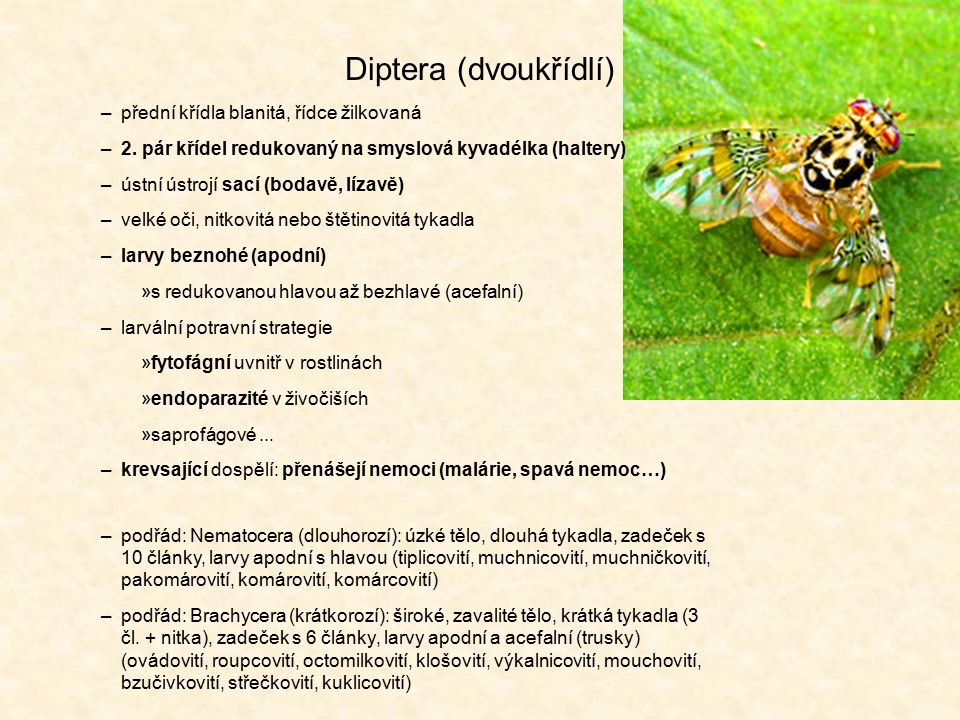 Diptera (dvoukřídlí) –přední křídla blanitá, řídce žilkovaná –2. pár křídel redukovaný na smyslová kyvadélka (haltery) –ústní ústrojí sací (bodavě, lí