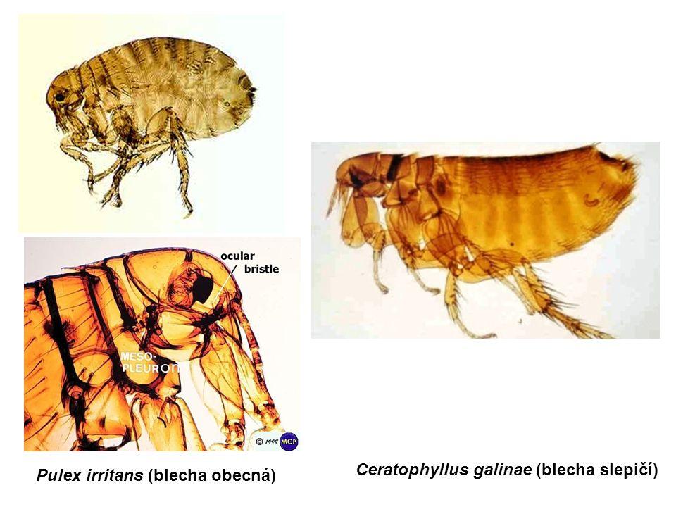 Pulex irritans (blecha obecná) Ceratophyllus galinae (blecha slepičí)