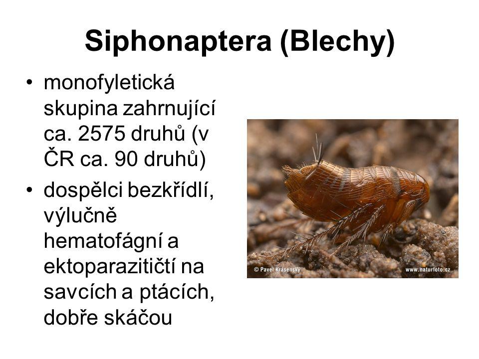 Siphonaptera (Blechy) monofyletická skupina zahrnující ca.