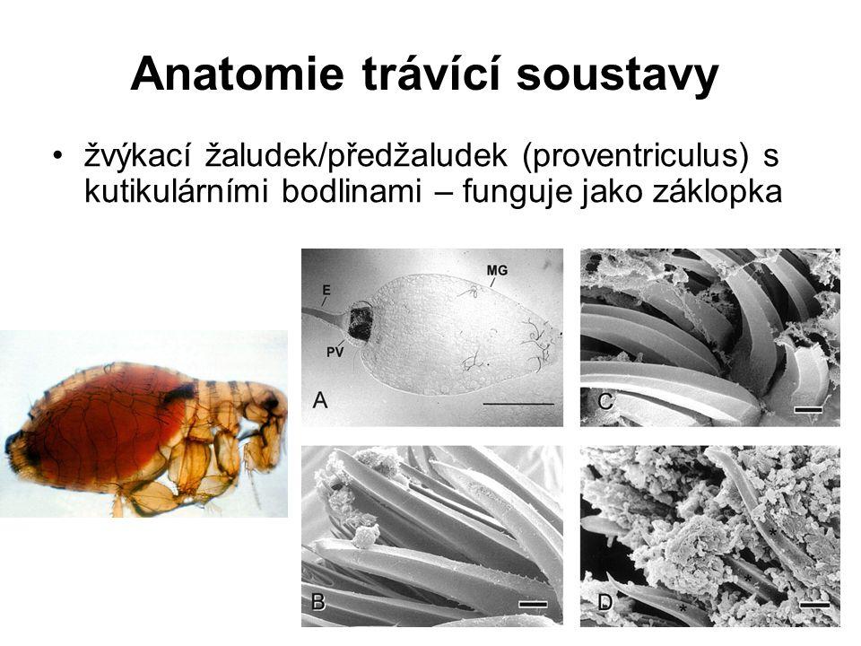 Anatomie trávící soustavy žvýkací žaludek/předžaludek (proventriculus) s kutikulárními bodlinami – funguje jako záklopka