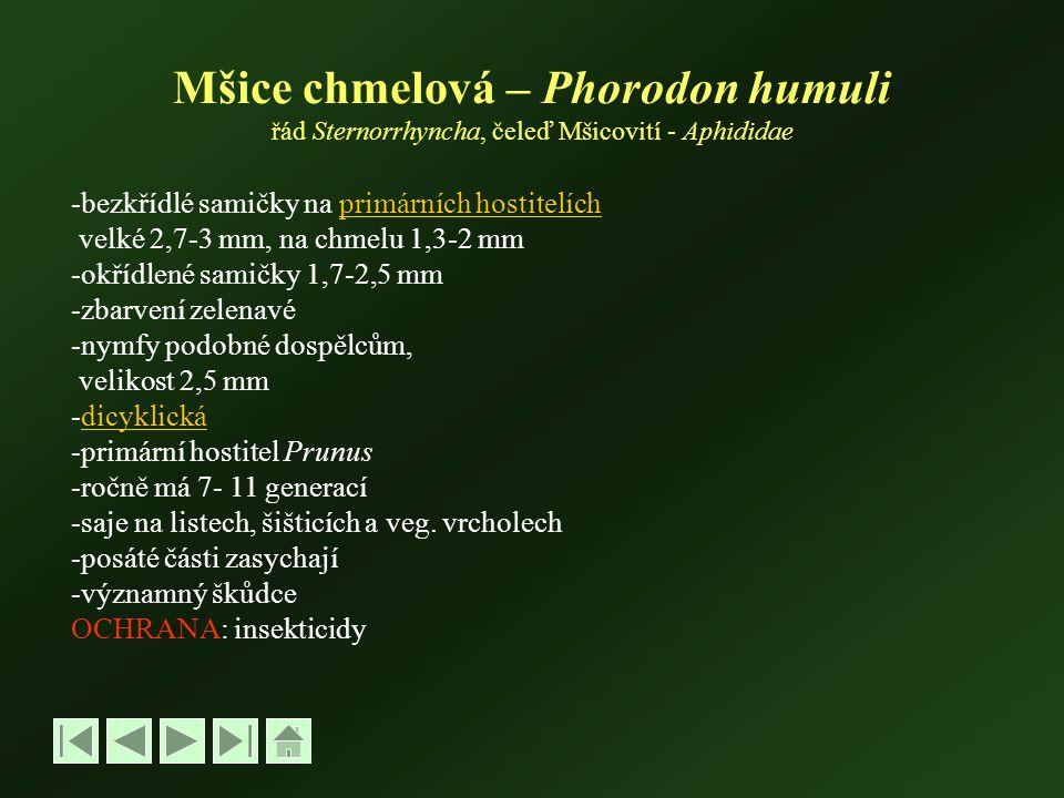 Mšice chmelová – Phorodon humuli řád Sternorrhyncha, čeleď Mšicovití - Aphididae -bezkřídlé samičky na primárních hostitelíchprimárních hostitelích velké 2,7-3 mm, na chmelu 1,3-2 mm -okřídlené samičky 1,7-2,5 mm -zbarvení zelenavé -nymfy podobné dospělcům, velikost 2,5 mm -dicyklickádicyklická -primární hostitel Prunus -ročně má 7- 11 generací -saje na listech, šišticích a veg.