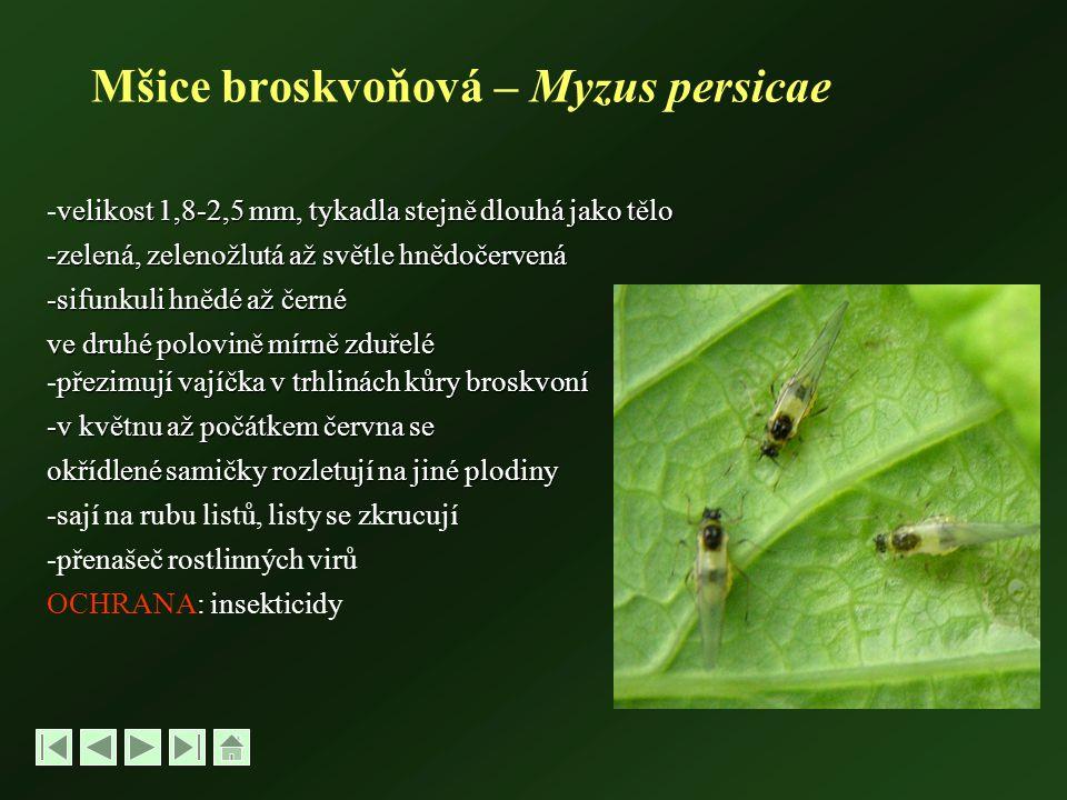 Mšice broskvoňová – Myzus persicae velikost 1,8-2,5 mm, tykadla stejně dlouhá jako tělo -velikost 1,8-2,5 mm, tykadla stejně dlouhá jako tělo -zelená, zelenožlutá až světle hnědočervená -sifunkuli hnědé až černé ve druhé polovině mírně zduřelé přezimují vajíčka v trhlinách kůry broskvoní -přezimují vajíčka v trhlinách kůry broskvoní -v květnu až počátkem června se okřídlené samičky rozletují na jiné plodiny -sají na rubu listů, listy se zkrucují -přenašeč rostlinných virů OCHRANA: insekticidy