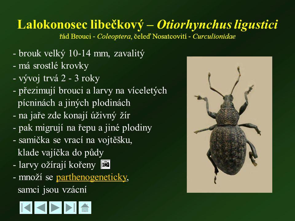 - brouk velký 10-14 mm, zavalitý - má srostlé krovky - vývoj trvá 2 - 3 roky - přezimují brouci a larvy na víceletých pícninách a jiných plodinách - na jaře zde konají úživný žír - pak migrují na řepu a jiné plodiny - samička se vrací na vojtěšku, klade vajíčka do půdy - larvy ožírají kořeny - množí se parthenogeneticky,parthenogeneticky samci jsou vzácní Lalokonosec libečkový – Otiorhynchus ligustici řád Brouci - Coleoptera, čeleď Nosatcovití - Curculionidae