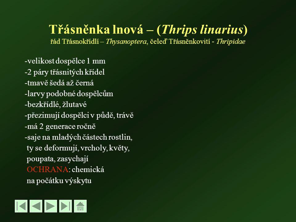 Třásněnka lnová – (Thrips linarius) řád Třásnokřídlí – Thysanoptera, čeleď Třásněnkovití - Thripidae -velikost dospělce 1 mm -2 páry třásnitých křídel -tmavě šedá až černá -larvy podobné dospělcům -bezkřídlé, žlutavé -přezimují dospělci v půdě, trávě -má 2 generace ročně -saje na mladých částech rostlin, ty se deformují, vrcholy, květy, poupata, zasychají OCHRANA: chemická na počátku výskytu