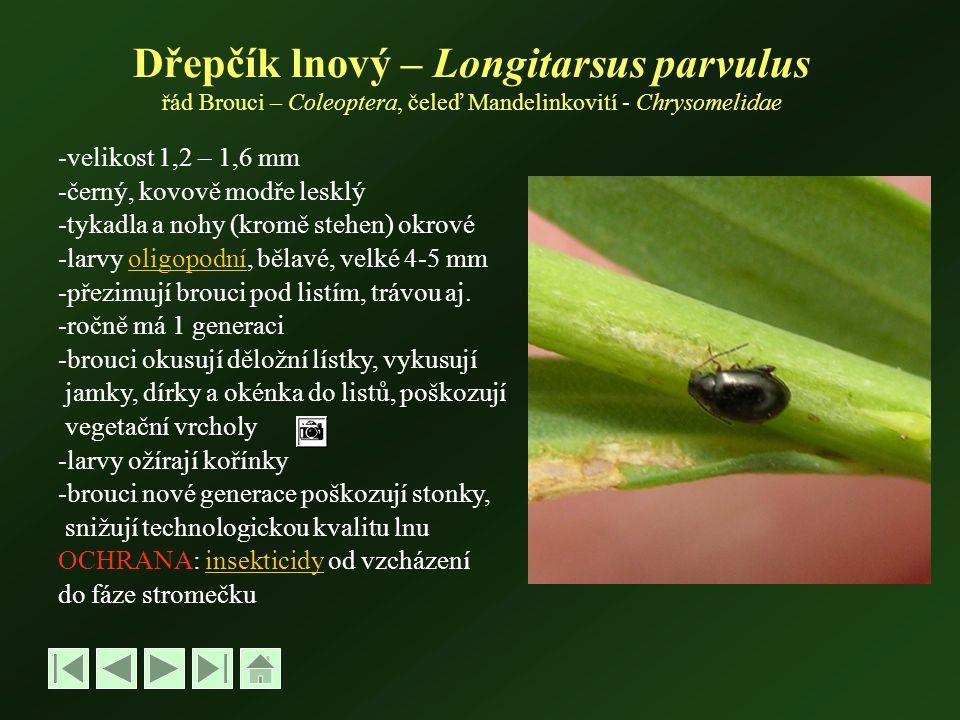 Dřepčík lnový – Longitarsus parvulus řád Brouci – Coleoptera, čeleď Mandelinkovití - Chrysomelidae -velikost 1,2 – 1,6 mm -černý, kovově modře lesklý -tykadla a nohy (kromě stehen) okrové -larvy oligopodní, bělavé, velké 4-5 mmoligopodní -přezimují brouci pod listím, trávou aj.