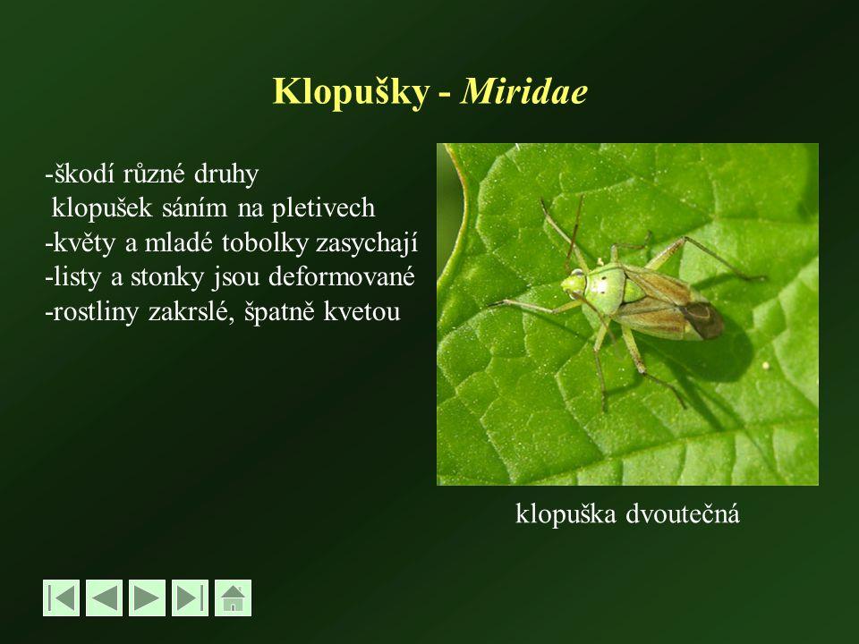 Klopušky - Miridae -škodí různé druhy klopušek sáním na pletivech -květy a mladé tobolky zasychají -listy a stonky jsou deformované -rostliny zakrslé, špatně kvetou klopuška dvoutečná