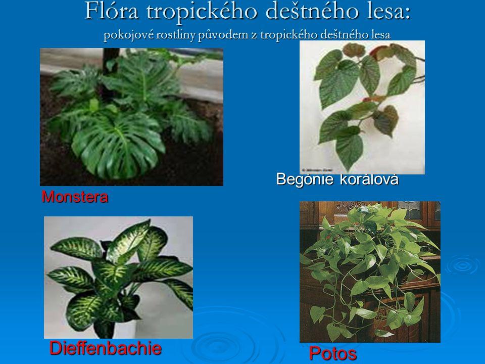 Flóra tropického deštného lesa: pokojové rostliny původem z tropického deštného lesa Monstera Begónie korálová Potos Dieffenbachie