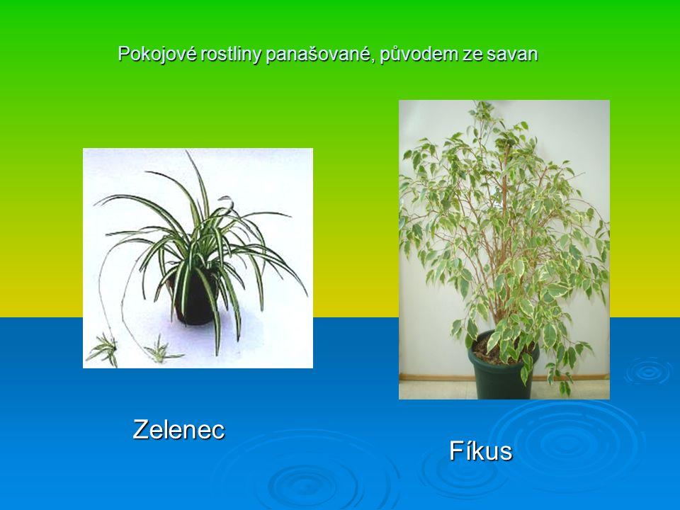 Pokojové rostliny panašované, původem ze savan Zelenec Fíkus