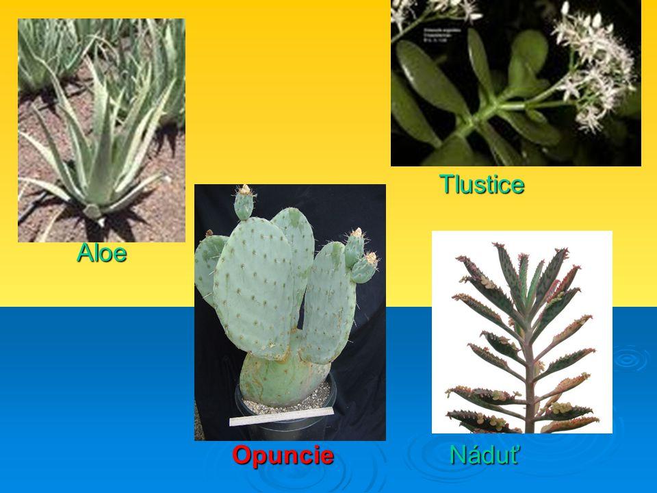 Aloe Tlustice NáduťOpuncie