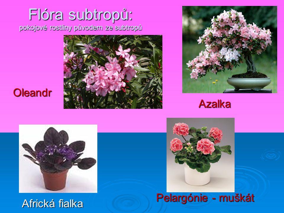 Flóra subtropů: pokojové rostliny původem ze subtropů Oleandr Azalka Africká fialka Pelargónie - muškát