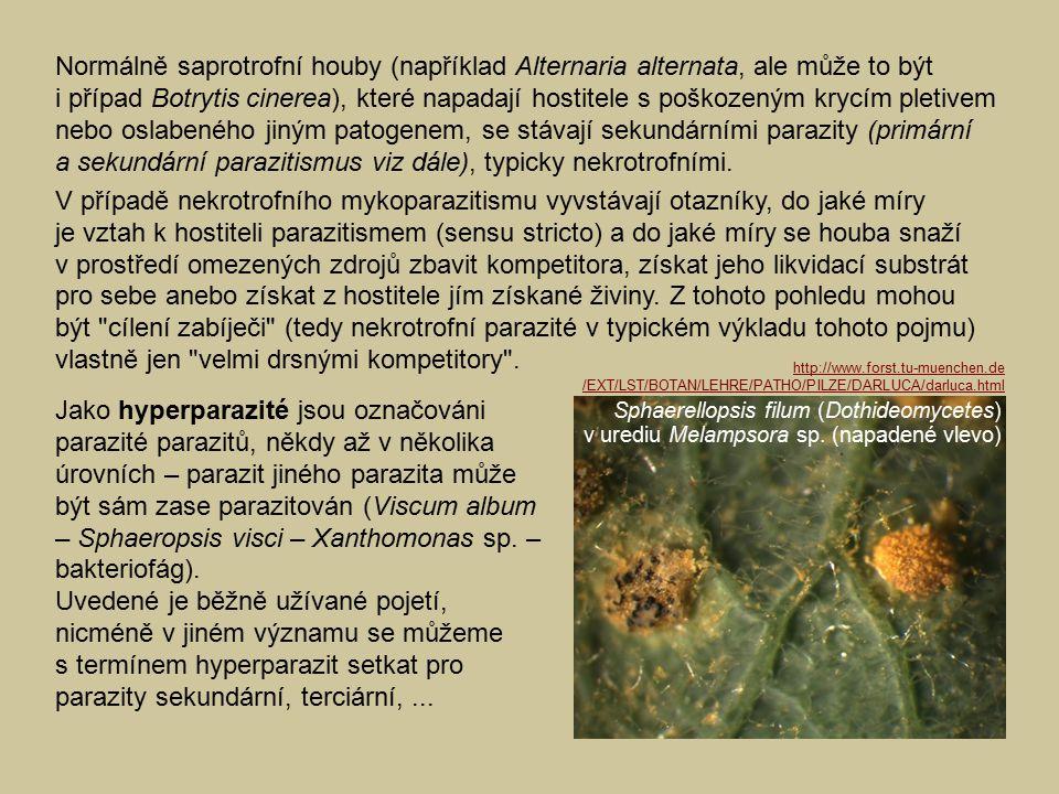Normálně saprotrofní houby (například Alternaria alternata, ale může to být i případ Botrytis cinerea), které napadají hostitele s poškozeným krycím p