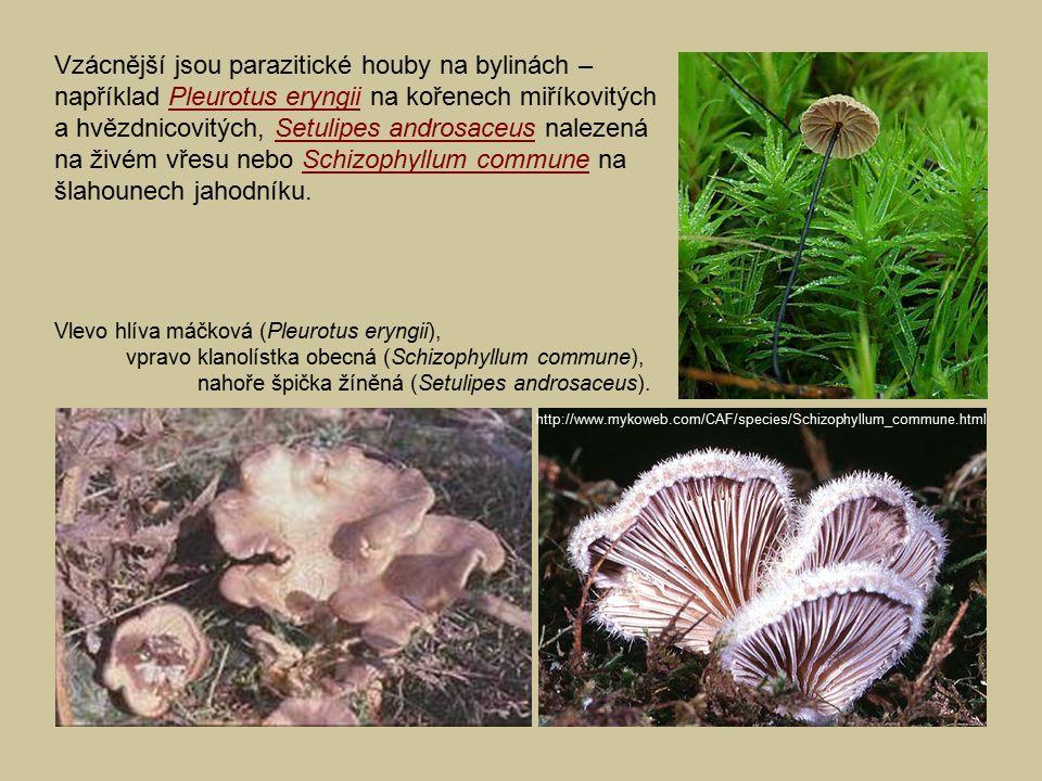 Vzácnější jsou parazitické houby na bylinách – například Pleurotus eryngii na kořenech miříkovitých a hvězdnicovitých, Setulipes androsaceus nalezená