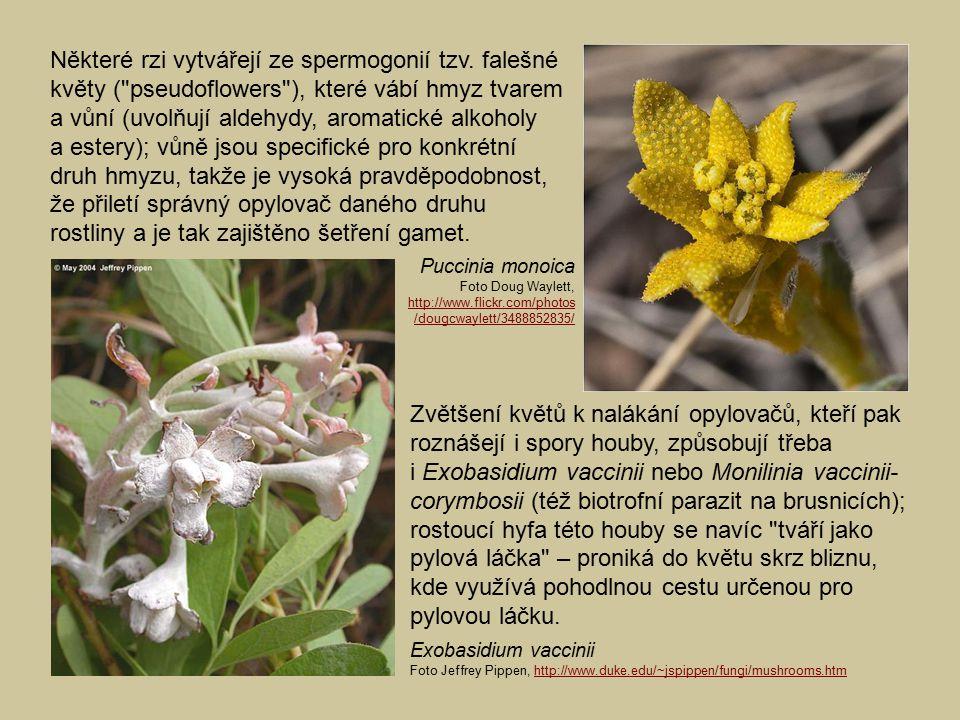 Některé rzi vytvářejí ze spermogonií tzv. falešné květy (