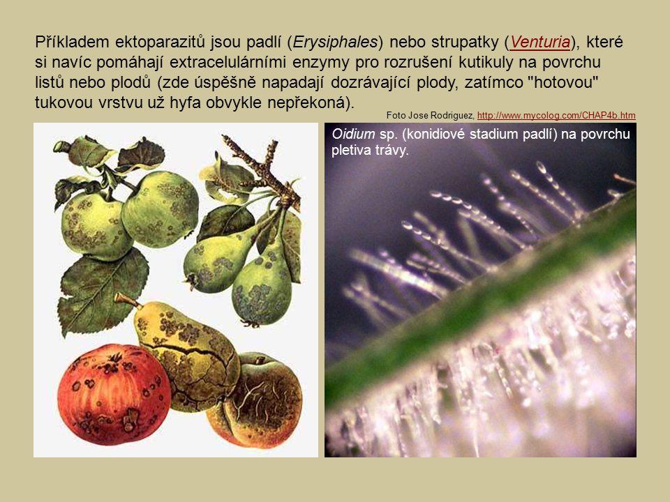 Příkladem ektoparazitů jsou padlí (Erysiphales) nebo strupatky (Venturia), které si navíc pomáhají extracelulárními enzymy pro rozrušení kutikuly na p