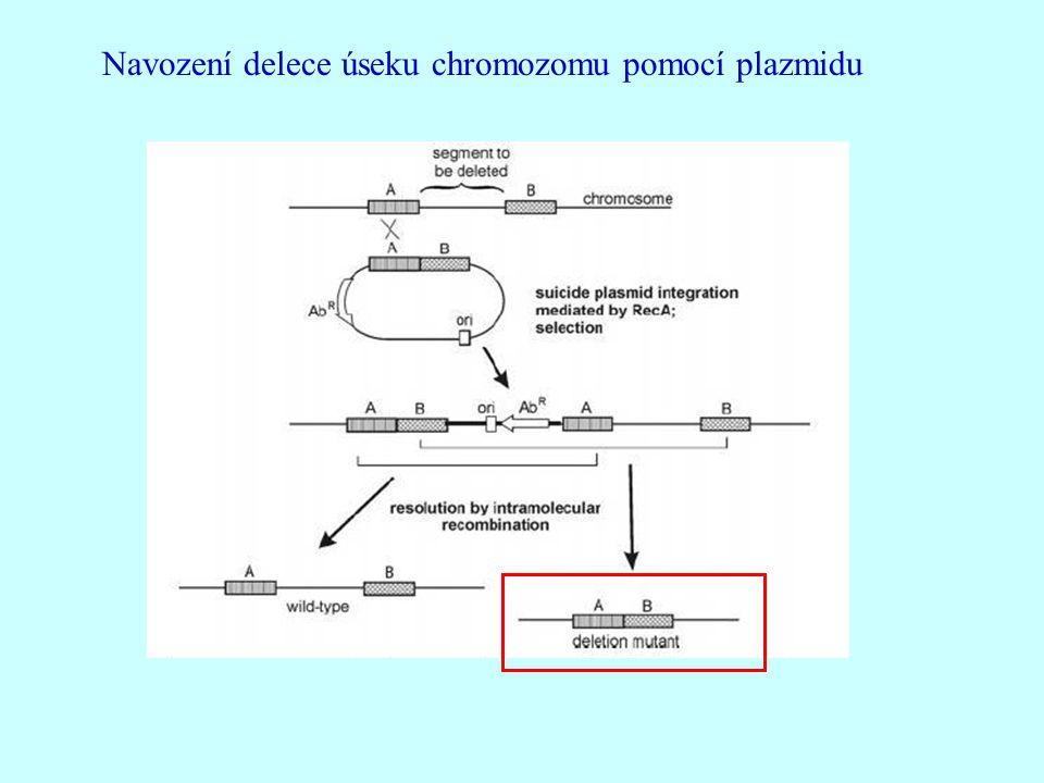Navození delece úseku chromozomu pomocí plazmidu