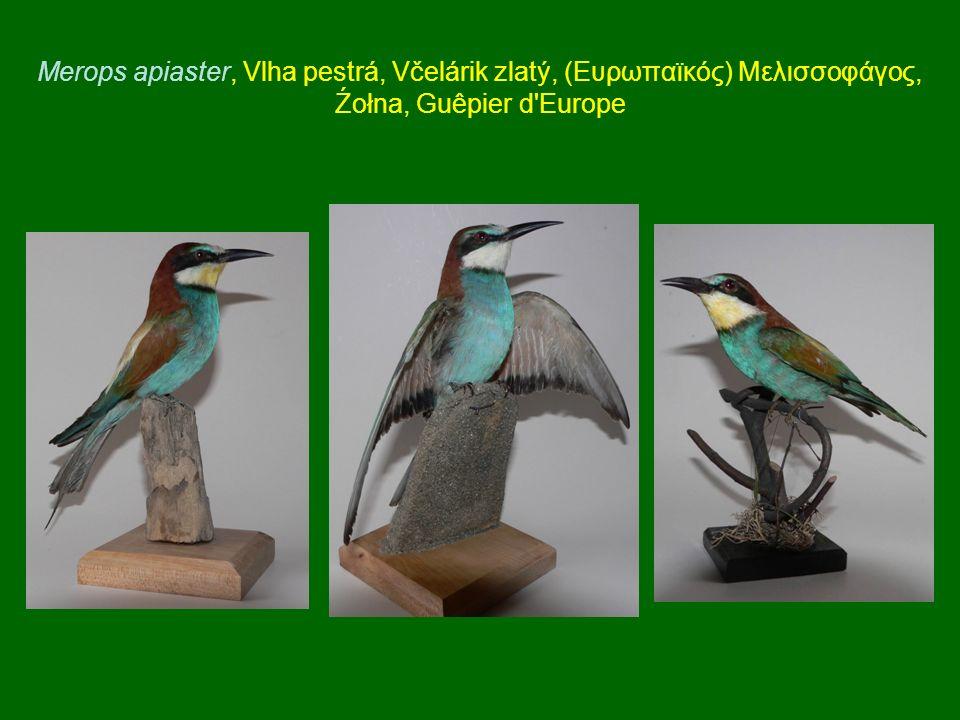 Merops apiaster, Vlha pestrá, Včelárik zlatý, (Ευρωπαϊκός) Μελισσοφάγος, Źołna, Guêpier d'Europe