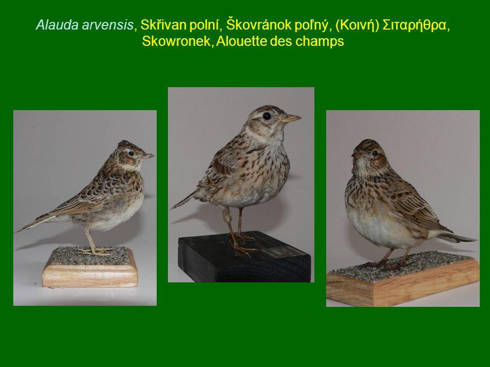Alauda arvensis, Skřivan polní, Škovránok poľný, (Κοινή) Σιταρήθρα, Skowronek, Alouette des champs