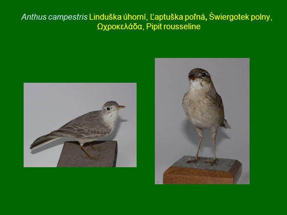 Anthus campestris Linduška úhorní, Ľaptuška poľná, Świergotek polny, Ωχροκελάδα, Pipit rousseline