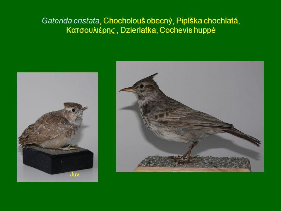 Gaterida cristata, Chocholouš obecný, Pipíška chochlatá, Κατσουλιέρης, Dzierlatka, Cochevis huppé Juv.