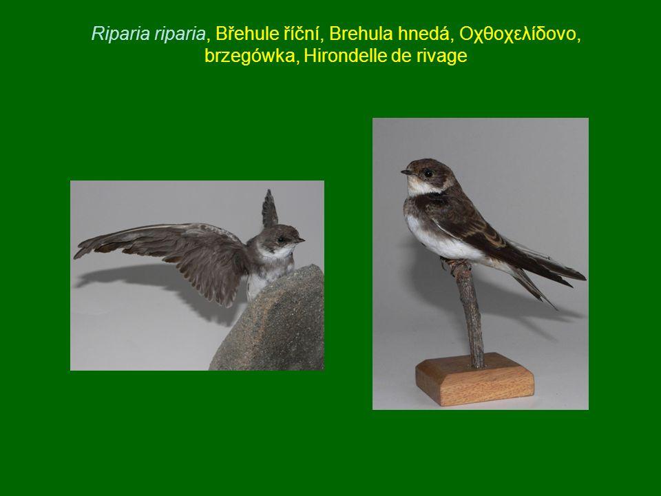 Riparia riparia, Břehule říční, Brehula hnedá, Οχθοχελίδονο, brzegówka, Hirondelle de rivage