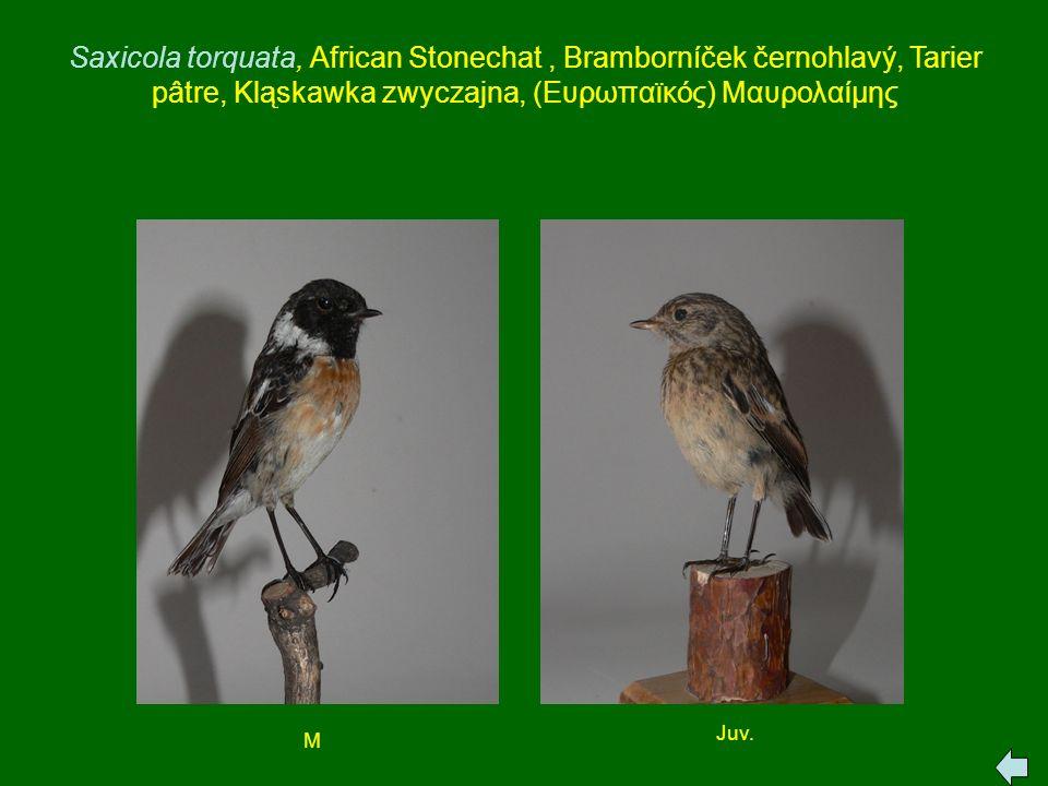 Saxicola torquata, African Stonechat, Bramborníček černohlavý, Tarier pâtre, Kląskawka zwyczajna, (Ευρωπαϊκός) Μαυρολαίμης M Juv.