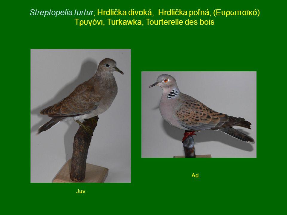 Streptopelia turtur, Hrdlička divoká, Hrdlička poľná, (Ευρωπαϊκό) Τρυγόνι, Turkawka, Tourterelle des bois Juv. Ad.