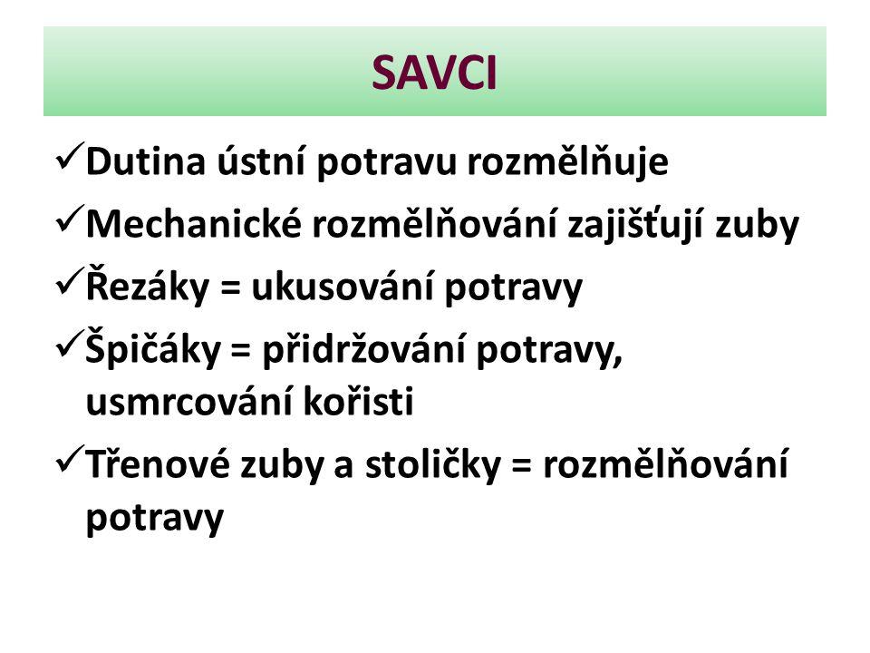 SAVCI Dutina ústní potravu rozmělňuje Mechanické rozmělňování zajišťují zuby Řezáky = ukusování potravy Špičáky = přidržování potravy, usmrcování koři
