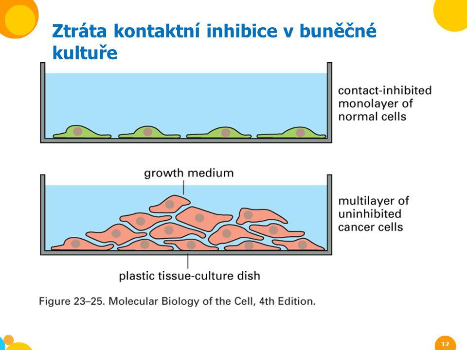 Ztráta kontaktní inhibice v buněčné kultuře 12