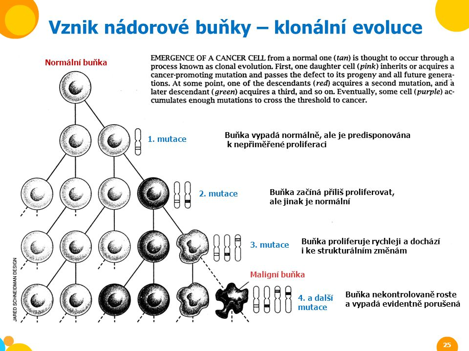 Vznik nádorové buňky – klonální evoluce Buňka vypadá normálně, ale je predisponována k nepřiměřené proliferaci Buňka začíná příliš proliferovat, ale j