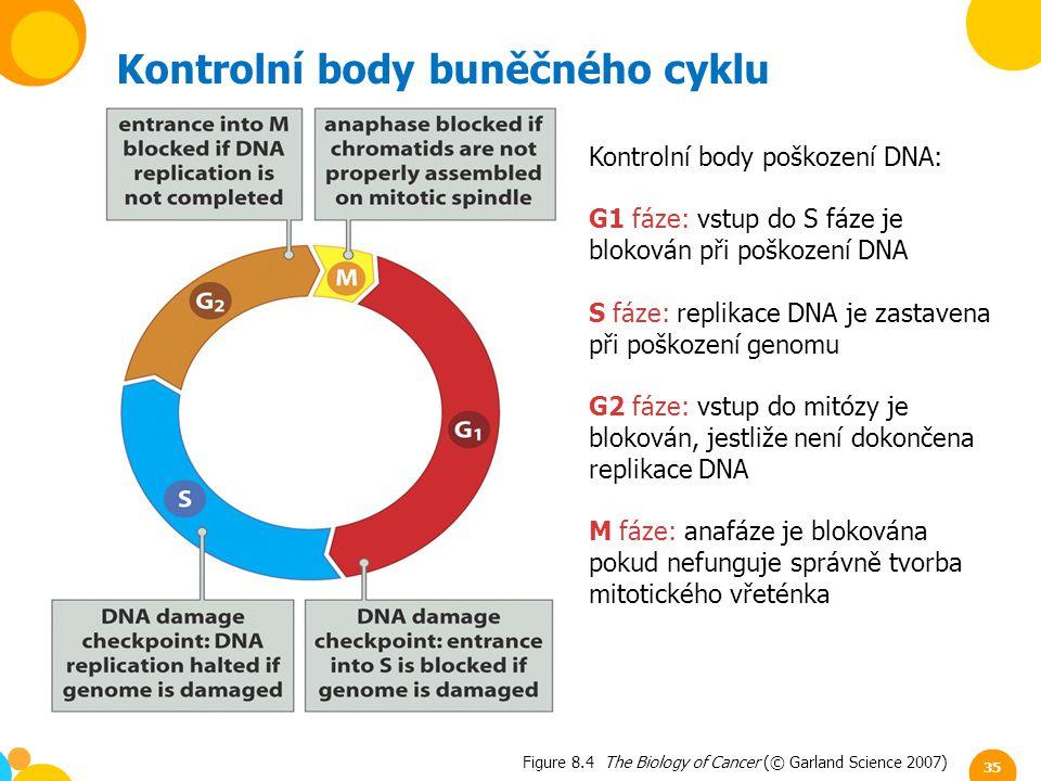 Figure 8.4 The Biology of Cancer (© Garland Science 2007) Kontrolní body buněčného cyklu Kontrolní body poškození DNA: G1 fáze: vstup do S fáze je blo