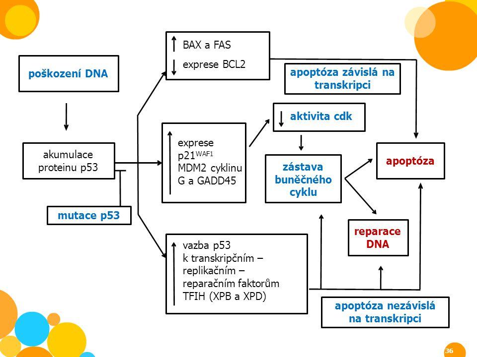 mutace p53 apoptóza nezávislá na transkripci poškození DNA akumulace proteinu p53 BAX a FAS exprese BCL2 exprese p21 WAF1 MDM2 cyklinu G a GADD45 vazb