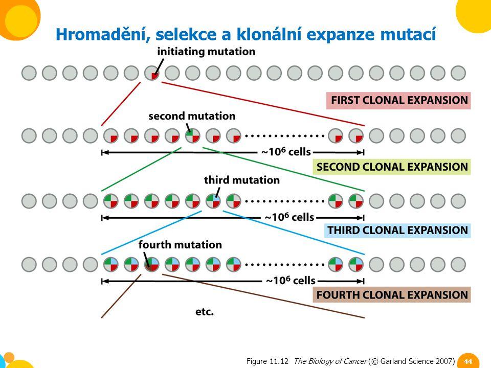 Figure 11.12 The Biology of Cancer (© Garland Science 2007) Hromadění, selekce a klonální expanze mutací 44