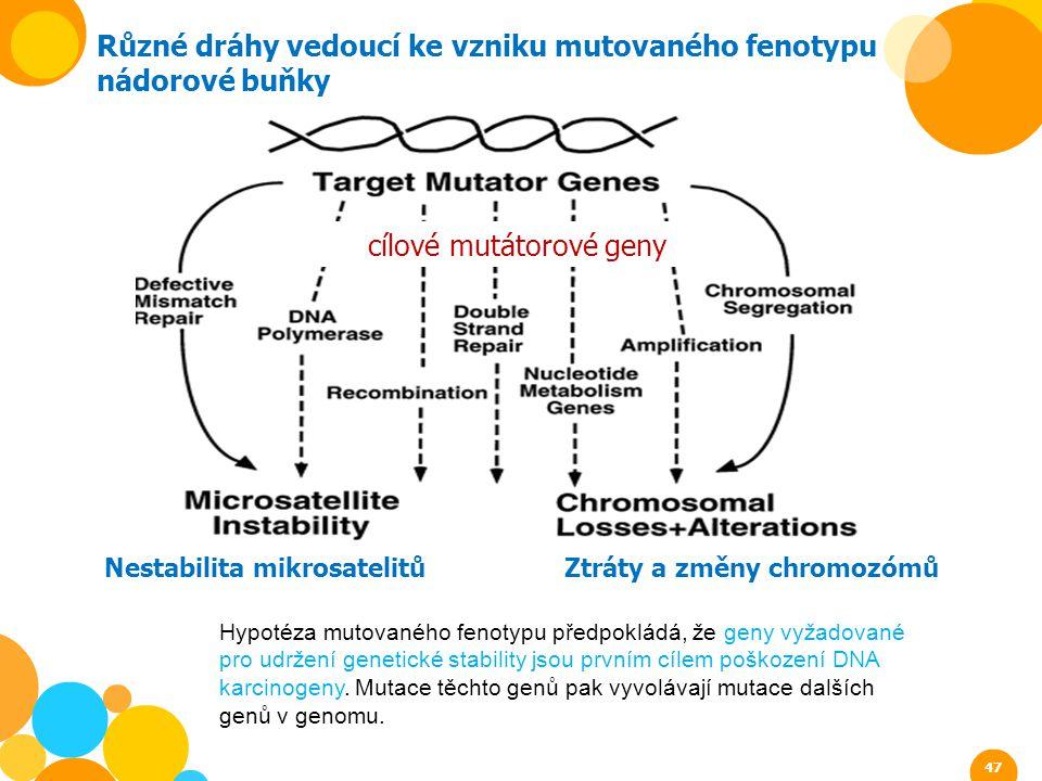 Různé dráhy vedoucí ke vzniku mutovaného fenotypu nádorové buňky Nestabilita mikrosatelitů Ztráty a změny chromozómů cílové mutátorové geny 47 Hypotéz