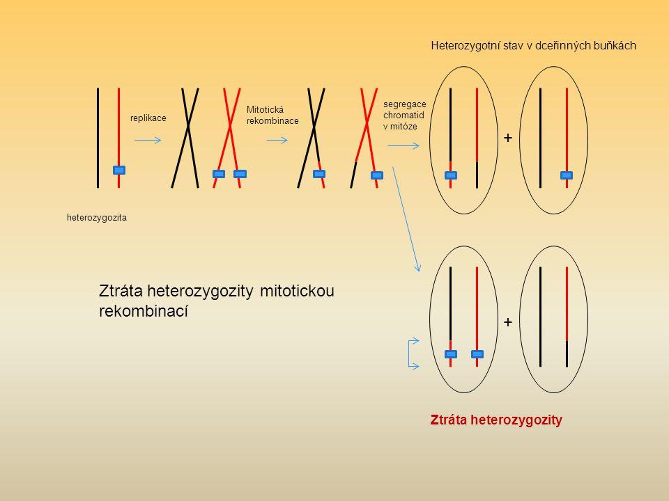 heterozygozita replikace Mitotická rekombinace segregace chromatid v mitóze Heterozygotní stav v dceřinných buňkách Ztráta heterozygozity Ztráta heterozygozity mitotickou rekombinací + +