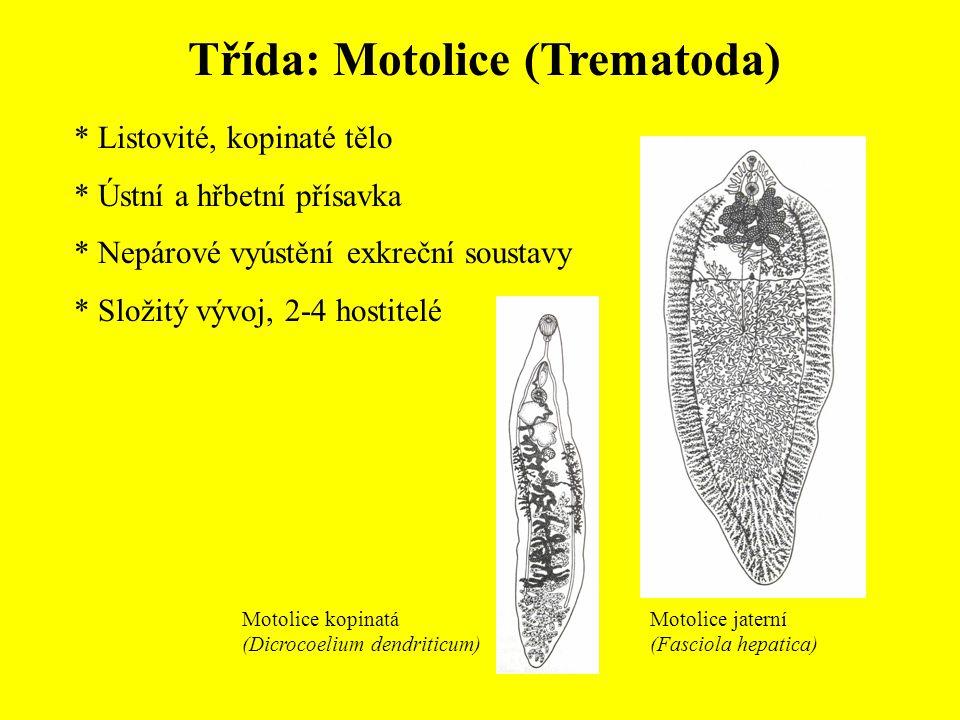Třída: Motolice (Trematoda) * Listovité, kopinaté tělo * Ústní a hřbetní přísavka * Nepárové vyústění exkreční soustavy * Složitý vývoj, 2-4 hostitelé Motolice kopinatá (Dicrocoelium dendriticum) Motolice jaterní (Fasciola hepatica)