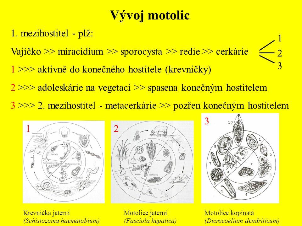 Vývoj motolic 1. mezihostitel - plž: Vajíčko >> miracidium >> sporocysta >> redie >> cerkárie 1 >>> aktivně do konečného hostitele (krevničky) 2 >>> a