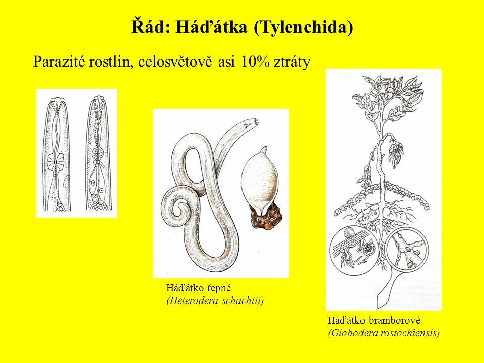 Řád: Háďátka (Tylenchida) Parazité rostlin, celosvětově asi 10% ztráty Háďátko řepné (Heterodera schachtii) Háďátko bramborové (Globodera rostochiensis)