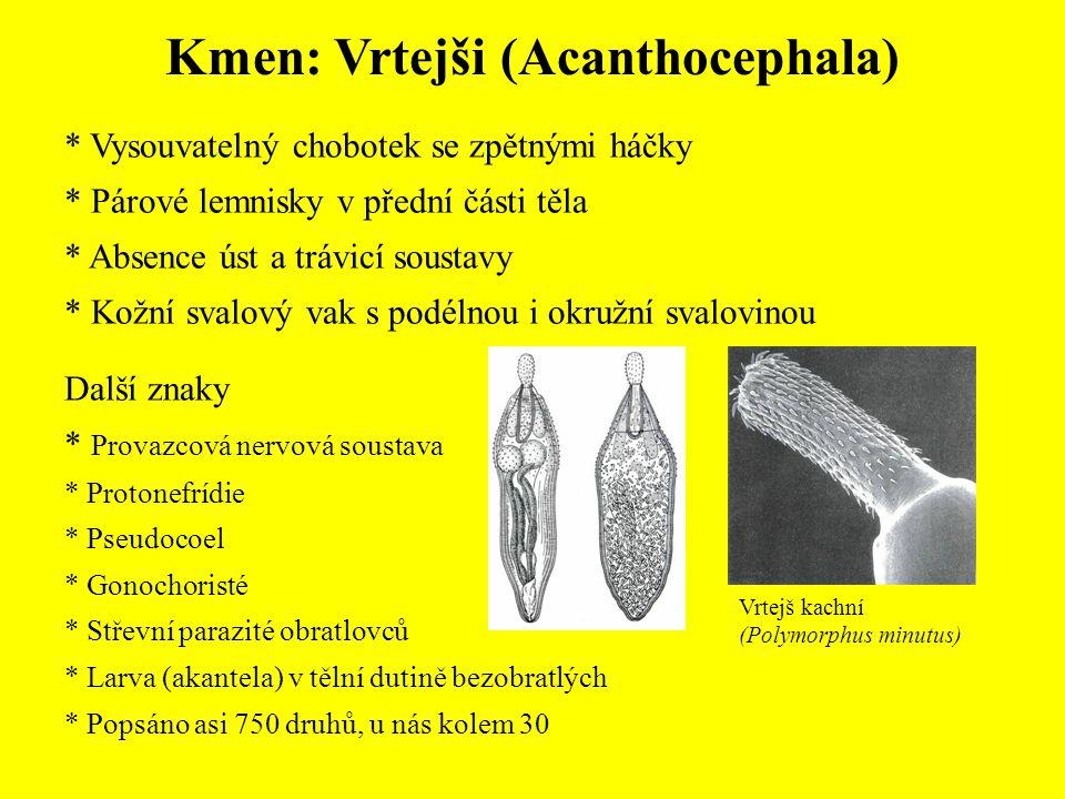 Kmen: Vrtejši (Acanthocephala) * Vysouvatelný chobotek se zpětnými háčky * Párové lemnisky v přední části těla * Absence úst a trávicí soustavy * Kožní svalový vak s podélnou i okružní svalovinou Další znaky * Provazcová nervová soustava * Protonefrídie * Pseudocoel * Gonochoristé * Střevní parazité obratlovců * Larva (akantela) v tělní dutině bezobratlých * Popsáno asi 750 druhů, u nás kolem 30 Vrtejš kachní (Polymorphus minutus)