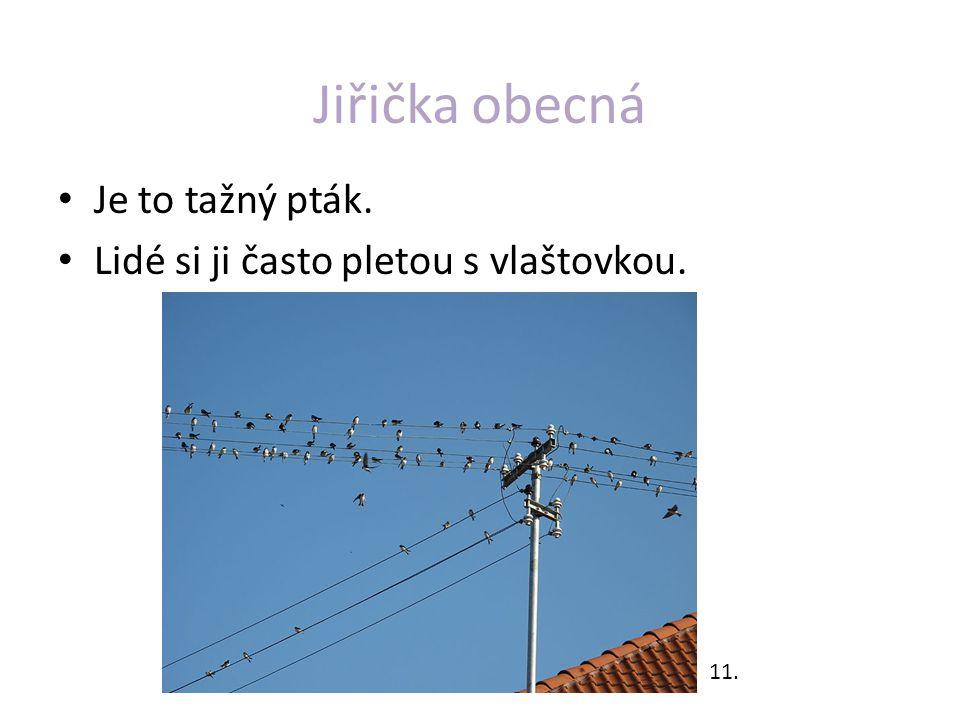 Jiřička obecná Je to tažný pták. Lidé si ji často pletou s vlaštovkou. 11.