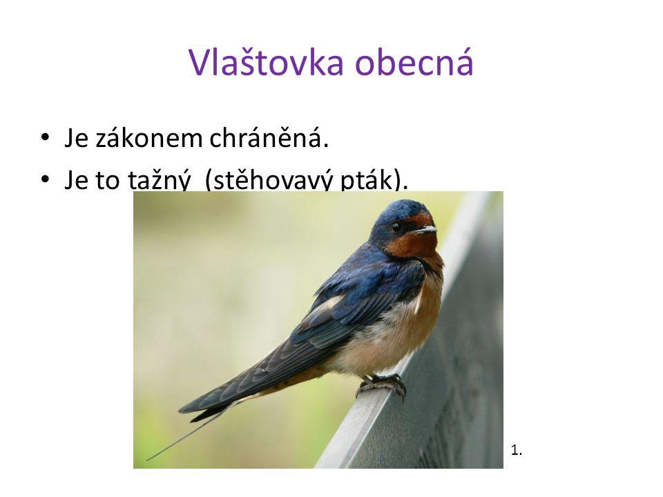 Vlaštovka obecná Je zákonem chráněná. Je to tažný (stěhovavý pták). 1.
