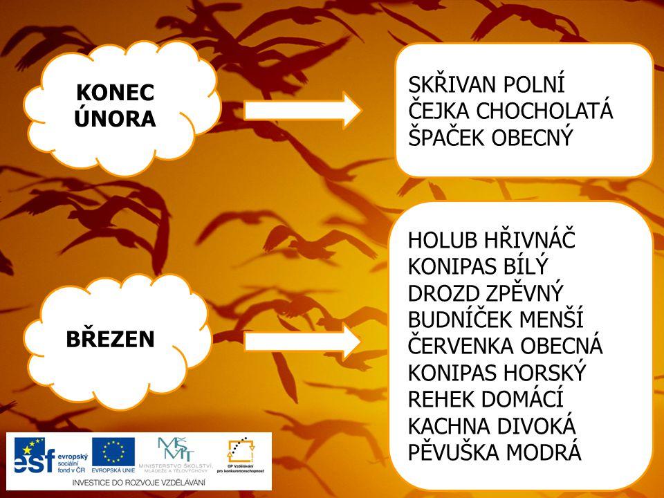 19) Soubor:Saxicola rubetra 3 tom (Marek Szczepanek).jpg.