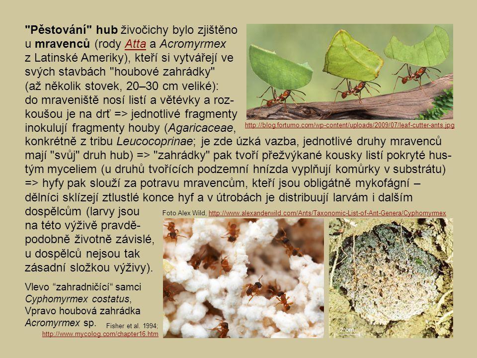 Pěstování hub živočichy bylo zjištěno u mravenců (rody Atta a Acromyrmex z Latinské Ameriky), kteří si vytvářejí ve svých stavbách houbové zahrádky (až několik stovek, 20–30 cm veliké): do mraveniště nosí listí a větévky a roz- koušou je na drť => jednotlivé fragmenty inokulují fragmenty houby (Agaricaceae,Atta konkrétně z tribu Leucocoprinae; je zde úzká vazba, jednotlivé druhy mravenců mají svůj druh hub) => zahrádky pak tvoří přežvýkané kousky listí pokryté hus- tým myceliem (u druhů tvořících podzemní hnízda vyplňují komůrky v substrátu) => hyfy pak slouží za potravu mravencům, kteří jsou obligátně mykofágní – dělníci sklízejí ztlustlé konce hyf a v útrobách je distribuují larvám i dalším dospělcům (larvy jsou na této výživě pravdě- podobně životně závislé, u dospělců nejsou tak zásadní složkou výživy).
