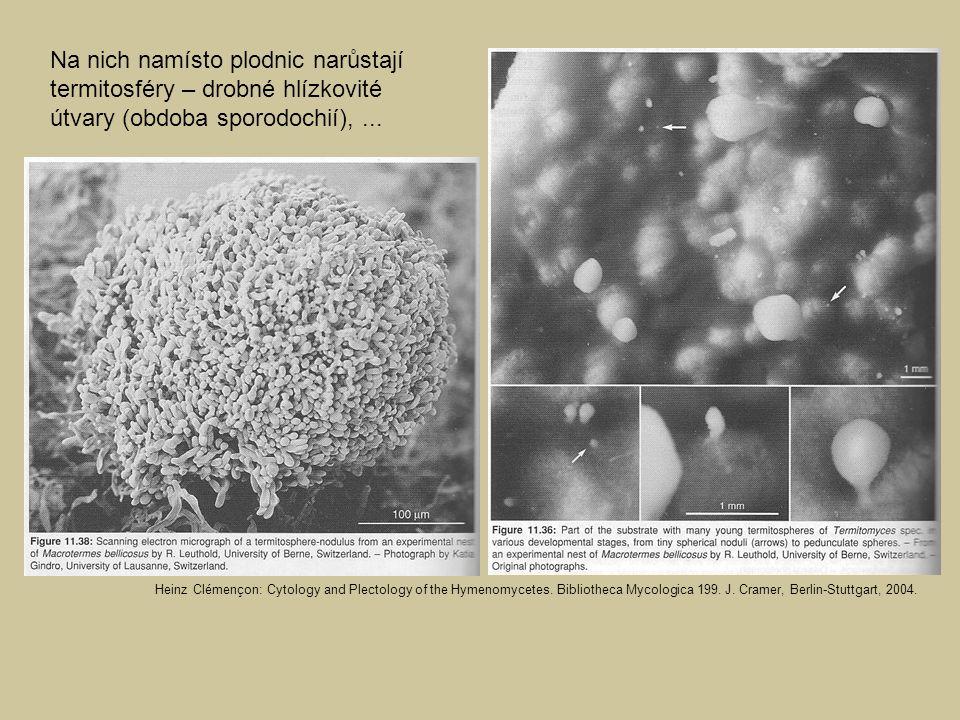 Na nich namísto plodnic narůstají termitosféry – drobné hlízkovité útvary (obdoba sporodochií),... Heinz Clémençon: Cytology and Plectology of the Hym