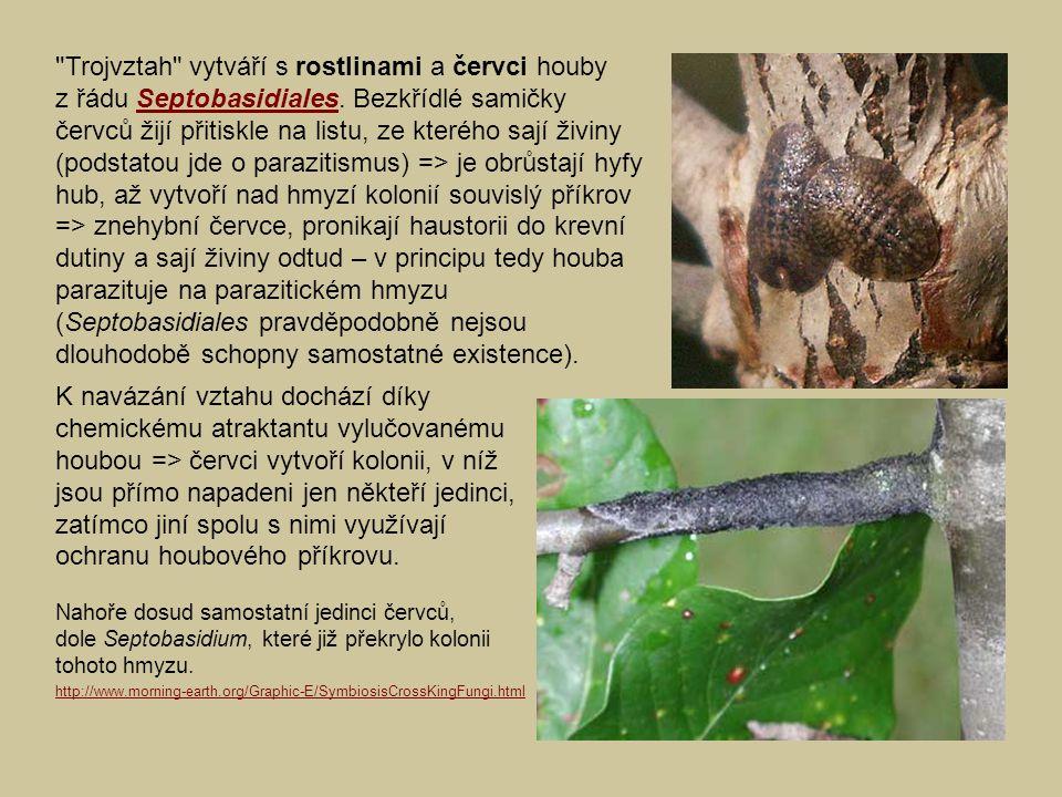 Trojvztah vytváří s rostlinami a červci houby z řádu Septobasidiales.