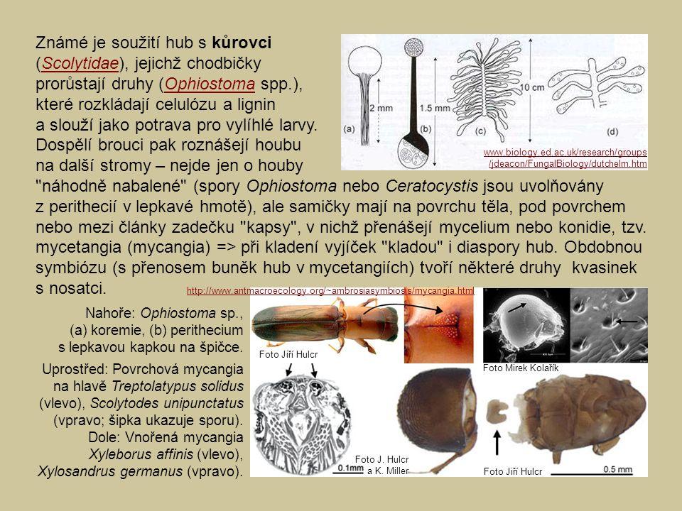 Známé je soužití hub s kůrovci (Scolytidae), jejichž chodbičkyScolytidae prorůstají druhy (Ophiostoma spp.),Ophiostoma které rozkládají celulózu a lig
