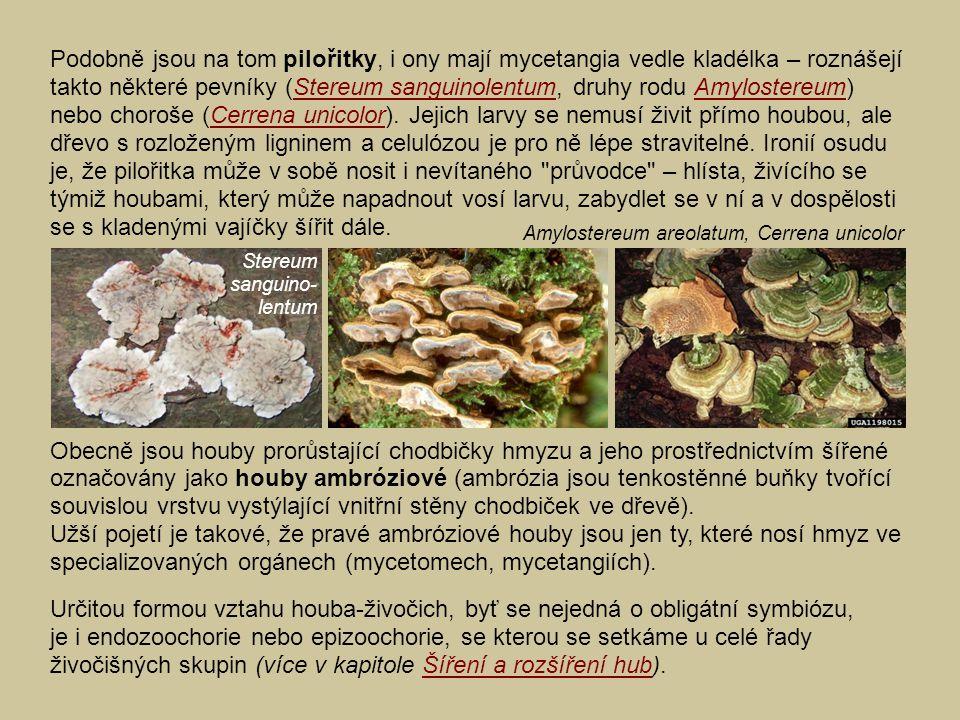 Podobně jsou na tom pilořitky, i ony mají mycetangia vedle kladélka – roznášejí takto některé pevníky (Stereum sanguinolentum, druhy rodu Amylostereum