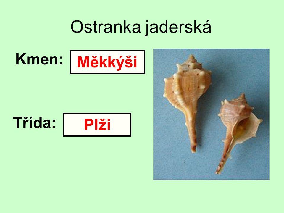 Ostranka jaderská Kmen: Třída: Měkkýši Plži