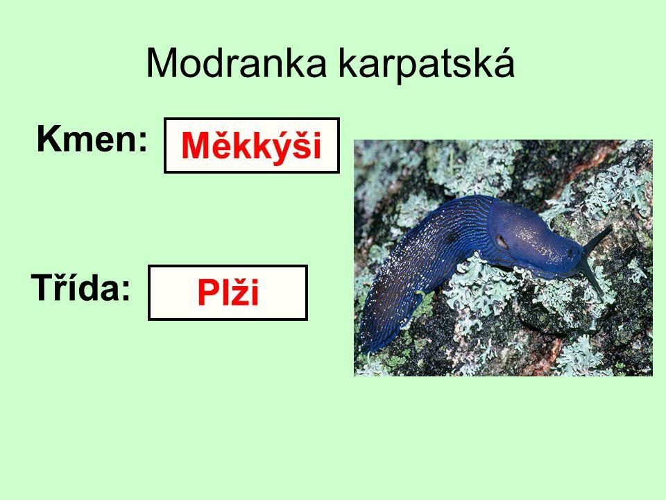 Modranka karpatská Kmen: Třída: Měkkýši Plži